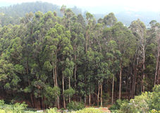 Eucalyptus trees. Landscape at ooty hill,tamilnadu, india Royalty Free Stock Image