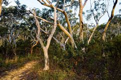 Eucalyptus trees lining up a path in the Australian bush Stock Image