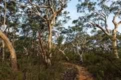 Eucalyptus trees lining up a trail in the Australian bush. In the Blue Mountains royalty free stock photos
