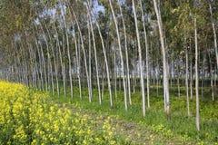Eucalyptus trees and mustard crop Stock Image