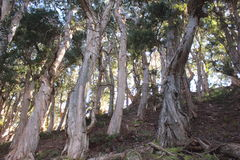 Eucalyptus trees Stock Photos