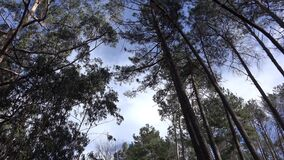 Eucalyptus trees and pines forest and rough nature tilt up shot near Paul do Serra mountain region in Madeira