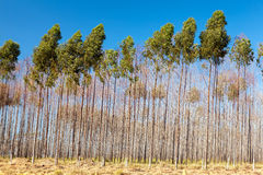 Eucalyptus trees. Plantation with blue sky on background royalty free stock image