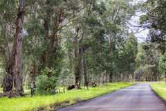 Eucalyptus trees beside a road. In Easter Island royalty free stock photography