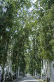Eucalyptus trees Royalty Free Stock Photo