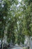 Eucalyptus trees. Road through row of eucalyptus trees in Gokava, Mugla, Turkey Royalty Free Stock Photo