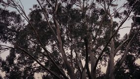 Eucalyptus trees in stormy weather. Eucalyptus trees swaying around in the wind at sunset stock video