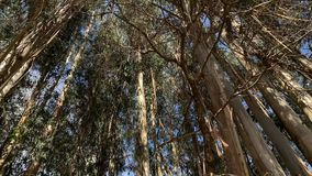 Eucalyptus trees to the sky view from below rotation camera