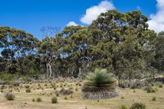 Eucalyptus trees, yacka or blackboy plants, South Australia Royalty Free Stock Image