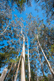 Eucalyptus tress growing to the blue sky Stock Photo