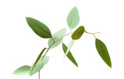 Eucalyptus vert frais, jeune branche Photographie stock