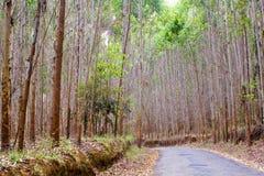 Eucalyptus way Royalty Free Stock Photos