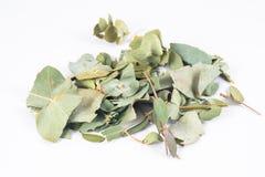 Eucalyptus in white background Stock Images
