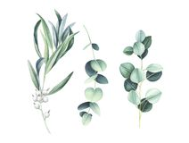 Eucalyptus & wild olive branches isolated on white background. Elegant floral elements. Watercolor hand drawn illustration royalty free illustration