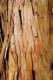 Eucalyptus wood bark texture Stock Image