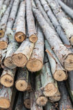 Eucalyptus wood. Eucalyptus trees being harvested for building construction stock photo