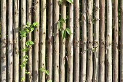 Eucalyptus wood wall to traditional list. Stock Photography