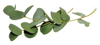 Eucalyptusbladeren Royalty-vrije Stock Foto's