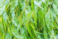 Eucalyptusbladeren Stock Foto