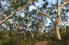 Eucalyptusbomen in de Australische struik royalty-vrije stock fotografie