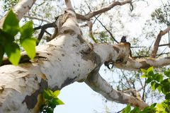 Eucalyptusboom Royalty-vrije Stock Fotografie