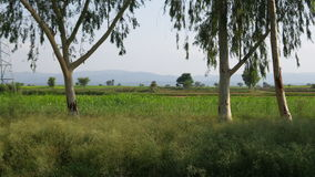 Eucalyptusboom royalty-vrije stock afbeeldingen