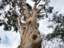 Eucalyptusboom Stock Fotografie
