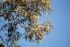 Eucalyptusboom bij Lockwood-Zuiden Stock Afbeelding