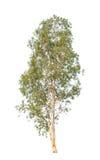 Eucalyptusboom op witte achtergrond wordt geïsoleerd die Stock Foto's