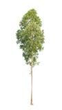 Eucalyptusboom op witte achtergrond wordt geïsoleerd die Stock Afbeelding