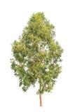 Eucalyptusboom, tropische die boom op wit wordt geïsoleerd Royalty-vrije Stock Fotografie