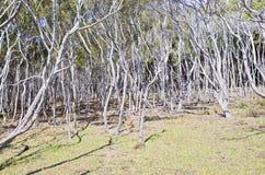 Eucalyptusbosje Royalty-vrije Stock Foto's