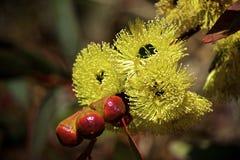 eucalyptusen blommar den gummiphilips floden Fotografering för Bildbyråer