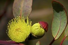 eucalyptusen blommar den gummiphilips floden Arkivbild