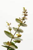 Eucalyptusgunnii Arkivfoto