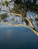 eucalyptusseascapetree Royaltyfria Foton