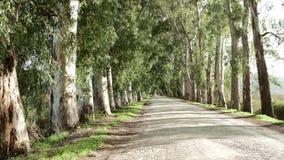 Eucalyptussteeg stock videobeelden