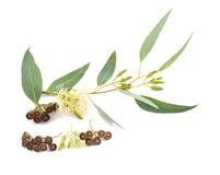 Eucalyptustak Royalty-vrije Stock Fotografie