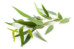 Eucalyptustak Stock Afbeelding