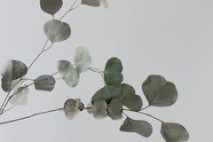Eucalyptustak in vaas met witte muur royalty-vrije stock afbeeldingen