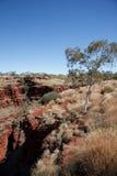eucalyptustree Royaltyfri Fotografi