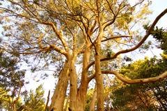 Eucalyptustreen fördärvar in de las Pampas Royaltyfria Foton