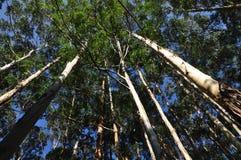 eucalyptustrees Arkivfoto