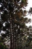 Eucalyptustrees i skog arkivbilder