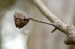 Eucalyptuszaad in bijlage aan de tak royalty-vrije stock afbeeldingen