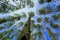 Eucalytpus skog Arkivfoto