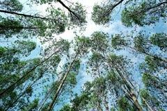 Eucalytpus skog Arkivfoton