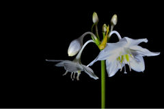 eucharis Fotografia Royalty Free