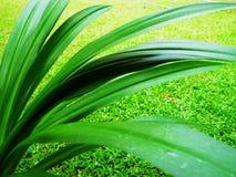 Eucharis Photo libre de droits
