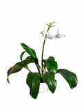 Eucharis x grandiflora. Indoor plant with beautiful white flowers royalty free stock photos